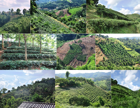 Tea Gardens at Ban Si Phan Rai, Doi Tung, Mae Fa Luang District, North Thailand