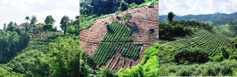 Tea gardens, Ban Si Phan Rai, Doi Tung, North Thailand, Collage 2