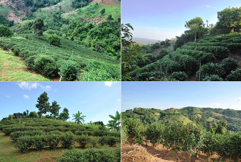 """Our tea garden"", Doi Tung, North Thailand, organically grown Oolong tea"