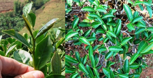 Ruan Zhi Nr.17 Oolong tea cultivar, tip & bushes, Doi Mae Salong, north Thailand, late Feb 2013
