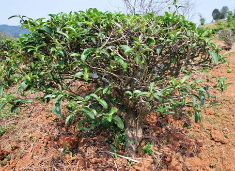 """Bai Yai"" Assamica tea tree, Doi Mae Salong, Thailand"