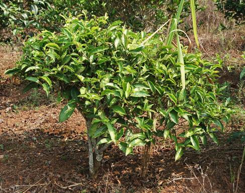 "Native Thai tea plant: ""Bai Yai"" Assamica tea tree, pic 3, Doi Mae Salong, Thailand"