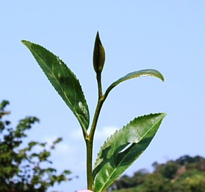 Cing Xin tea Cultivar, top leaves + tip, Feb 2013, Doi Mae Salong, north Thailand