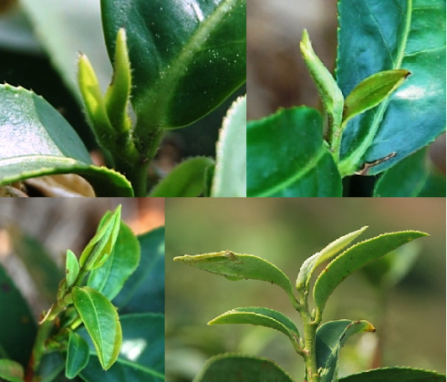 Yount tips of Jin Xuan No. 12 Taiwan tea cultivar in February, north ThailandAiteeops