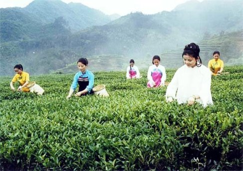 Tie Guan Yin harvest in Anxi, province Fujian, China