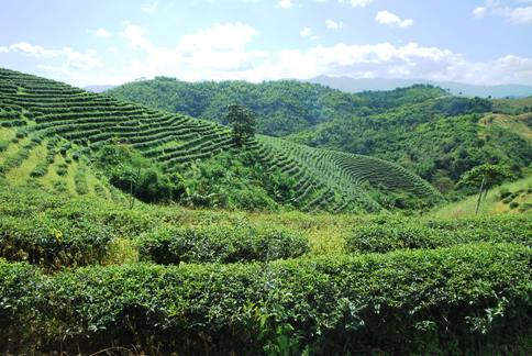 Tea garden in Ban Therd Thai