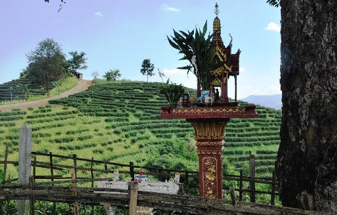 Tea garden with spirit house in Ban Therd Thai