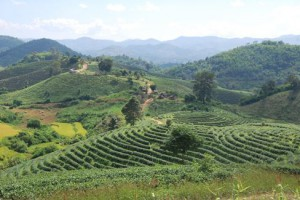 The Tea Gardens of Ban Hin Taek – Swords to Plowshares?