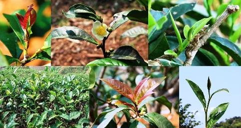 Taiwan Bai Hao tea cultivar thriving in Doi Mae Salong, north Thailand