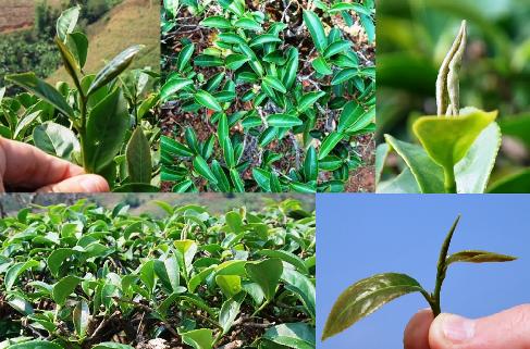 Ruan Zhi Taiwan Oolong tea cultivar No. 17 in north Thailand