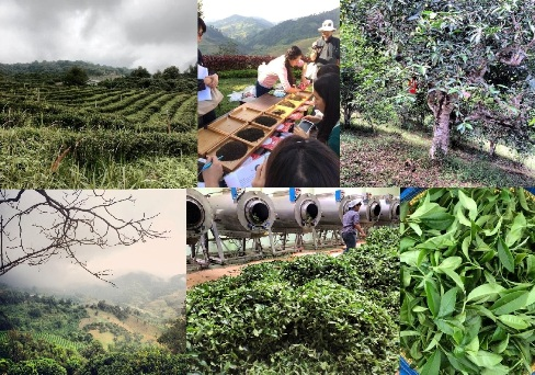 Doi Mae Salong tea school collage, November 2014