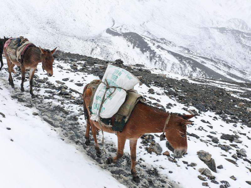 Mules caravan on an old tea horse road trail in Nepal