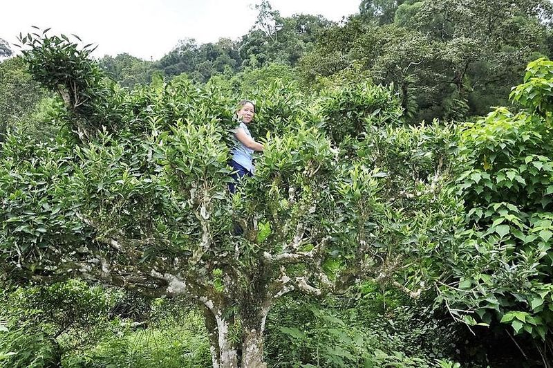 Picking the young buds and leaves from the up to 15 meters tall tea trees is hard work