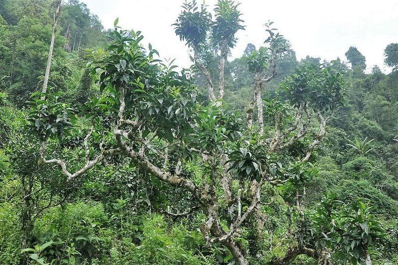 Vietnam Tea - Ancient wild tea trees in Ha Giang province