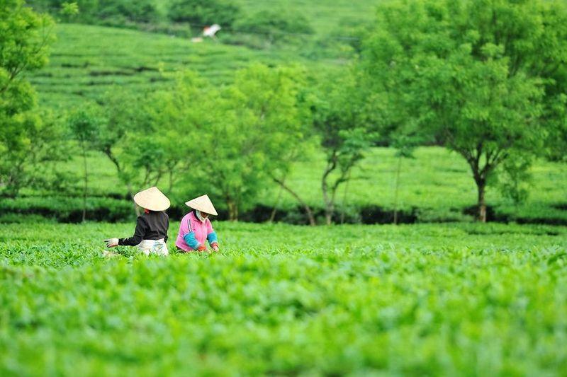 Vietnam tea - tea pickers in a conventional tea garden in Ha Giang province