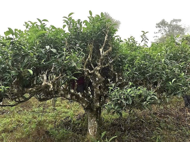 Vietnam Tea - Ancient 'Thuyet Shan' tea tree in our producer partner's tea garden in Ha Giang, Vietnam