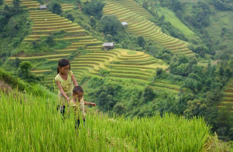 Vietnam tea - pastoral tea scenery in Ha Giang province