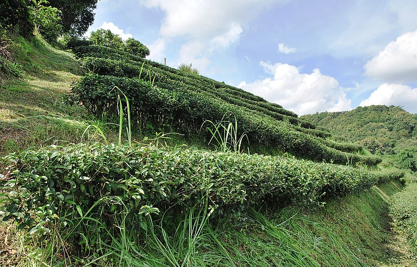 Tea garden with cultivated small leaf Camellia sinensis sinsensis