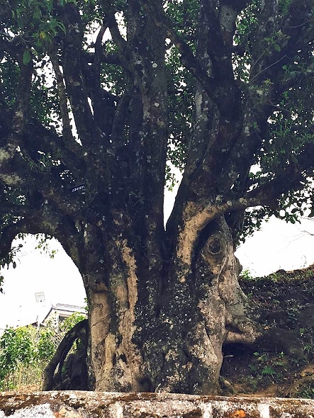 3200 years old tea tree in Yunnan, China