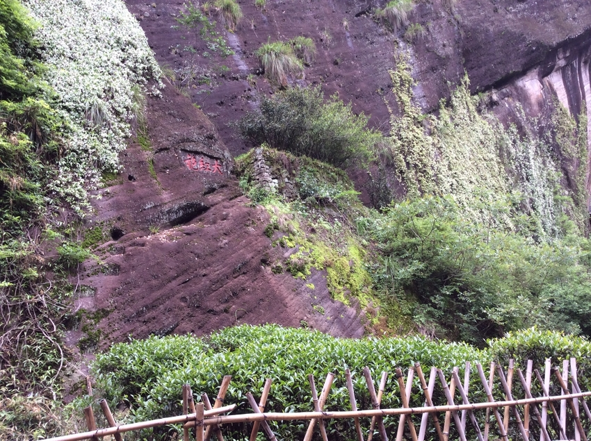 The most popular among Wuyi tea plant varieties - Da Hong Pao Motherbushes in Wuyishan, Fujian