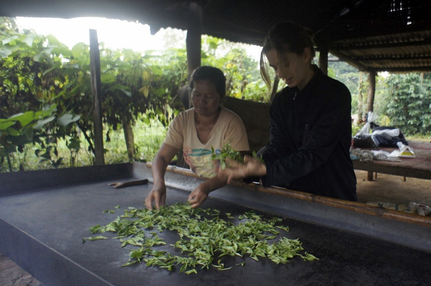 Kinnari tea production at Bolaven Plateau, Laos